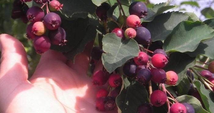 Полезные свойства ягод
