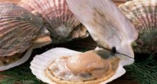 Морские гребешки польза и вред