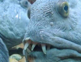 о пользе и вреде морской рыбки