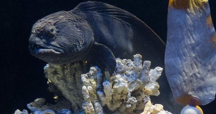 Зубатка или «Морской волк» - интересные факты